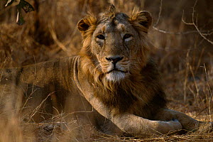 Asiatic lion male portrait {Panthera leo persica} Gir NP, Gujarat, India  -  Anup Shah