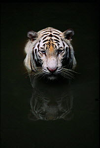 White Tiger head portrait reflected in water {Panthera tigris} captive,  India - Anup Shah