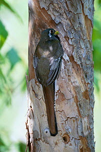 Coppery tailed / Elegant trogon female at nest hole in Sycamore tree {Trogon elegans} Arizona, USA  madera canyon  -  Tom Vezo