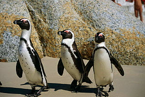Black footed / Jackass penguins on beach {Speniscus demersus} Boulders Beach, South Africa - John Downer