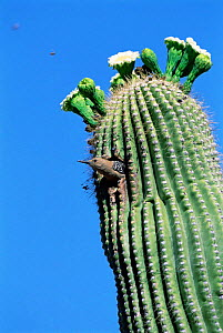 Gila woodpecker female at nest in Saguaro cactus. Santa Rita Mountains, Arizona, USA. - Tom Vezo