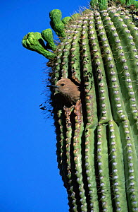 Gila woodpecker female at nest in Saguaro cactus. Arizona, USA {Melanerpes uropygialis} - Tom Vezo