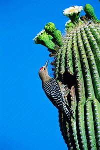 Gila woodpecker male at nest in Saguaro cactus. Arizona, USA {Melanerpes uropygialis} - Tom Vezo