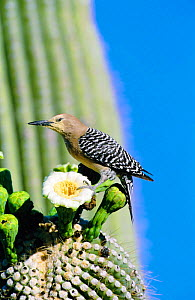 Gila woodpecker male on Saguaro cactus flower + pollen. Arizona , USA {Melanerpes uropygialis} - Tom Vezo