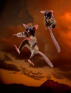 Multiflash image of Lesser bushbaby jumping - tendons absorb shock of impact & convert to energy for next jump. Difficult for predators to catch. (Resolution restriction due to image digitised from fi...  -  Tim MacMillan / John Downer Pr