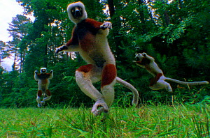 Coquerel's sifaka lemurs pogo across the for (Resolution restriction - image digitised from film, 'Weird Nature' tv series)  -  John Downer Productions