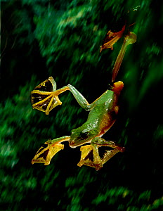 Wallace's gliding frog's extensive foot webbing allows it to glide long distances (Resolution restriction - image digitised from film, 'Weird Nature' tv series)  -  Tim MacMillan / John Downer Pr