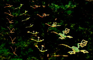 Multiple exposure study of various frogs shows that those with more foot webbing glide further (Resolution restriction - image digitised from film, 'Weird Nature' tv series)  -  Tim MacMillan / John Downer Pr