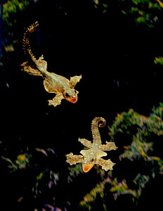 Kuhl's gecko flying - every edge of body expanded into membrane that acts as a wing as it glides (Resolution restriction - image digitised from film, 'Weird Nature' tv series)  -  Tim MacMillan / John Downer Pr