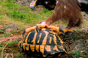 Eagle cannot open a tortoise's shell so it has to pick it up in talons and drop it on stones to break open (Resolution restriction - image digitised from film, 'Weird Nature' tv series) - Michael Richards / John Downer