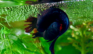 Siamese fighting fish mating - female lays eggs beneath air bubble nest blown by male. After fertillisisng the eggs, the male collects the eggs in his mouth and spits them into the bubbles (Resolution...  -  Stephen Downer / John Downer P