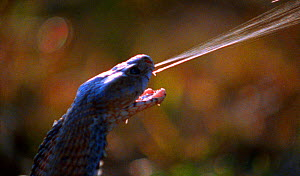 Spitting cobra sprays twin jets of venom with deadly accuracy at eyes of attacker (Resolution restriction - image digitised from film, 'Weird Nature' tv series) - Michael Richards / John Downer