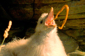 Under threat a Fulmar chick defends itself with projectile vomit {Fulmarus glacialis} Fulmar in Norse means 'foul gull'. (Resolution restriction - image digitised from film, 'Weird Nature' tv series)...  -  Simon Wagen / J Downer Product