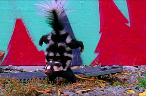 Spotted skunk does handstand as initial warning then sprays out stench if warning not heeded (Resolution restriction - image digitised from film, 'Weird Nature' tv series) - John Downer Productions