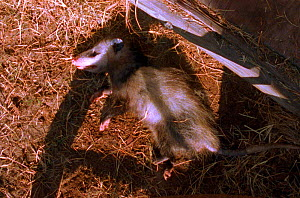 Opossum feigns death by rolling over and lying still with mouth and eyes half open. Defensive tactic. (Resolution restriction - image digitised from film, 'Weird Nature' tv series) - John Downer Productions