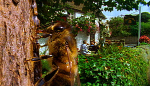 Alcohol drinkers - Honeybees enjoy a tipple of fermented sap of lime trees (Resolution restriction - image digitised from film, 'Weird Nature' tv series)  -  Rod Clarke / John Downer Produ