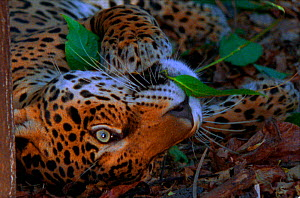 Jaguar chews on yaje leaf, known to have hallucinogenic properties (Resolution restriction - image digitised from film, 'Weird Nature' tv series) - John Downer Productions