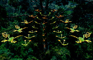 Multiple exposure study of various frogs gliding. Those with more webbing between their toes glide further (Resolution restriction - image digitised from film, 'Weird Nature' tv series)  -  Tim MacMillan / John Downer Pr