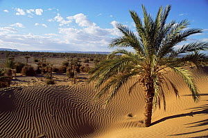 Sand dunes and palm trees, Draa Valley, Pre-Sahara, Morocco, North Africa  -  Nick Barwick