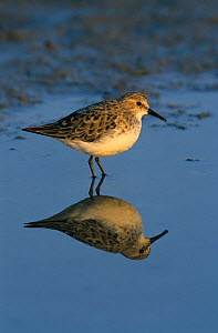 Little stint {Calidris minuta} Greece  -  Colin Preston
