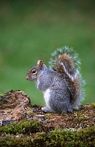 Grey squirrel {Sciurus carolinensis} UK  -  Colin Preston