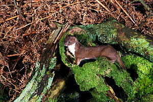 Weasel {Mustela nivalis} UK  -  Colin Preston