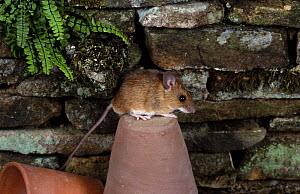 Yellow-necked mouse {Apodemus flavicollis} on flowerpot, captive, UK.  -  Colin Preston
