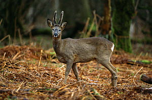 Roe deer buck in velvet {Capreolus capreolus} UK  -  Colin Preston