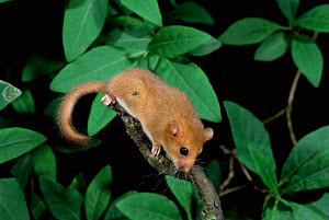 Dormouse {Muscardinus avellanarius} captive UK.  -  Colin Preston