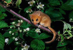 Dormouse {Muscardinus avellanarius} on Bramble UK  -  Colin Preston