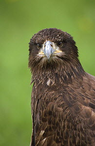 Juvenile American bald eagle {Haliaeetus leucocephalus} captive, UK  -  Colin Preston
