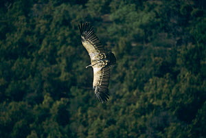 Long billed vulture (Gyps indicus) in flight, India, critically endangered - STEVE KNELL