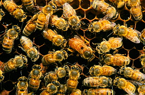 European Honeybee Queen laying eggs surrounded by workers {Apis mellifera} - Martin Gabriel