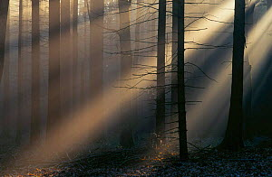 Sun rays breaking through trees in winter mist, forest Bavaria, Germany - Martin Gabriel