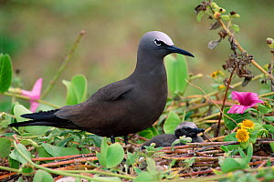 Common noddy {Anous stolidus} - Dave Watts