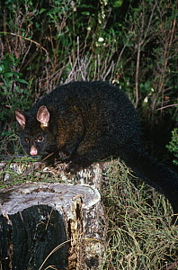 Common brushtail possum {Trichosurus vulpecula} captive, Australia. - Dave Watts