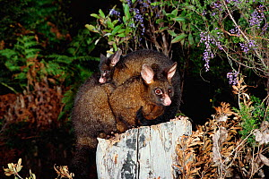 Common brushtail possum carrying young {Trichosurus vulpecula} Australia - Dave Watts