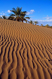 Sand dunes and palm trees, Draa Valley, Pre Sahara, Morocco, North Africa  -  Nick Barwick