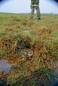 Lapwing chick hunkered down to avoid detection {Vanellus vanellus} Norfolk UK. Mid Yare RSPB Reserve  -  Nick Barwick