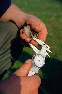 Lapwing chick having bill measured for biometry purposes {Vanellus vanellus} Norfolk UK. Mid Yare RSPB Reserve  -  Nick Barwick