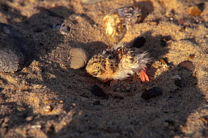 Little tern chick hunkered down in sand to avoid detection {Sternula albifrons} Great Yarmouth, UK  -  Nick Barwick