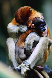 Proboscis monkey {Nasalis larvatus} grooming young -  native to Borneo, Indonesia  -  Anup Shah