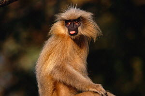 Golden langur {Presbytis geei} sticking its tongue out, India  -  Anup Shah