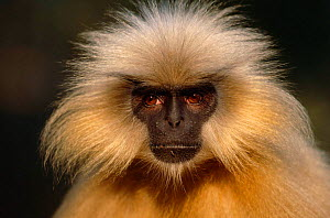 Golden langur {Presbytis geei} face on head portrait, India Not available for ringtone/wallpaper use.  -  Anup Shah