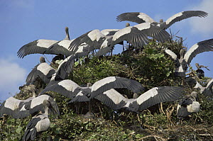 Asian openbill storks {Anastomus oscitans} shading nests with wings, India  -  John Downer