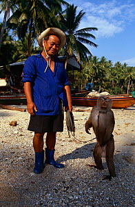 Pigtail macaque {Macaca nemestrina} with trainer Ko Samui, trained to collect coconuts from top of tree, Thailand  -  John Downer