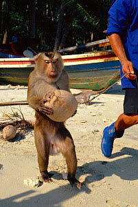 Pigtail macaque {Macaca nemestrina} trained to collect coconuts from trees, Ko Samui, Thailand  -  John Downer