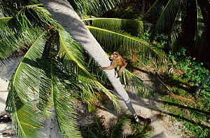 Pigtail macaque {Macaca nemestrina} trained to climb palm trees to collect coconuts Ko Samui, Thailand  -  John Downer