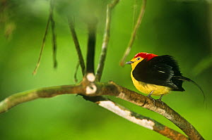 Male Wire tailed manakin displaying {(Teleonema filicauda) Yasuni NP, Ecuador - Pete Oxford