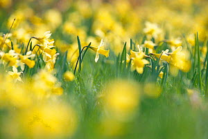 Wild daffodils {Narcissus pseudonarcissus} Gloucestershire, UK - John Downer
